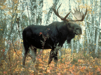 """Right after the Ice Age the """"King of the Forest"""", as elk are dubbed in Scandinavia, were larger than now, even though their ancestors today are still pretty impressive. (Photo: USDA Forest Service/Wikimedia Creative Commons)"""