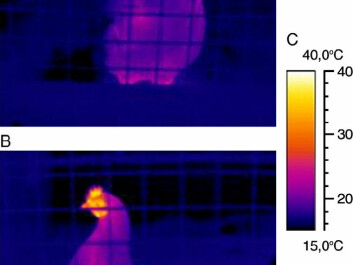 Above: A hen photographed immediately after expectations of a mealworm treat have been triggered by a blinking red light. The comb is dark and cold because surface blood is drawn inwards to heat the bird's body. Below: Heat runs out through the comb a few seconds later after the emotional fever has heated the hen.  The photos are from the journal Physiology & Behavior, see link below. (Photos: Andreas Flø, Solveig Stubsjøen and Randi Oppermann Moe