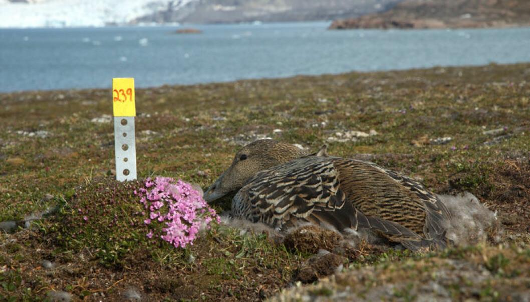 A female eider nesting at Kongsfjorden on Svalbard. (Photo: Sveinn Are Hanssen)
