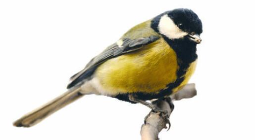 Sperm evolution in songbirds