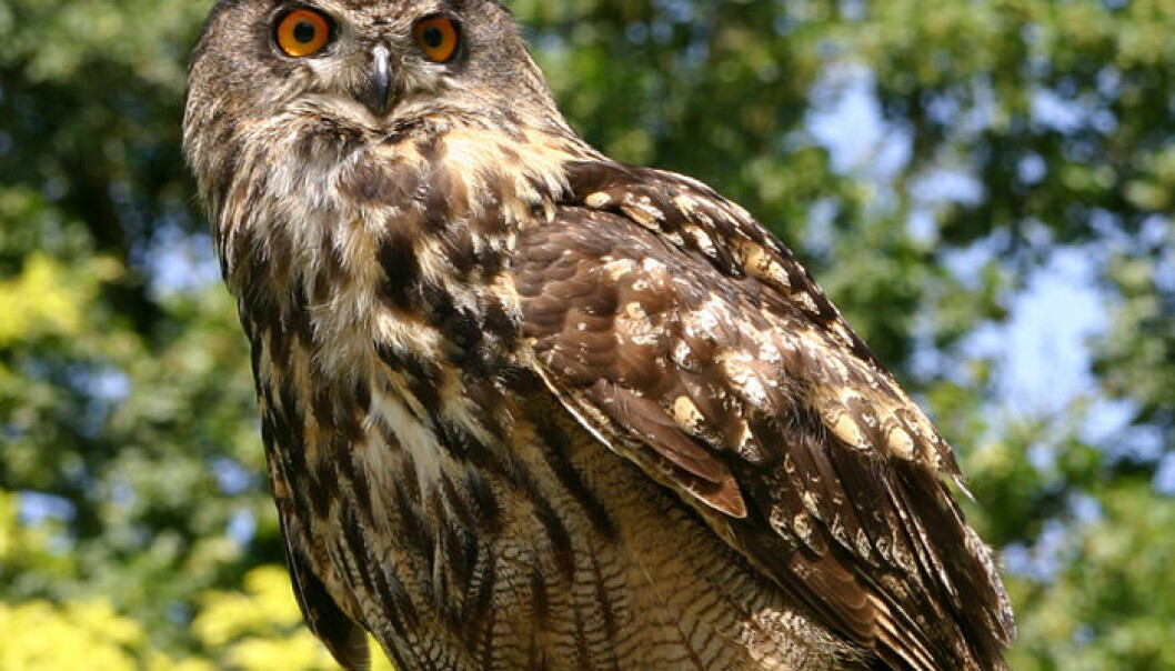 Half of the owls examined in the study had traces of rat poision in their liver. (Photo: Wikimedia Commons)