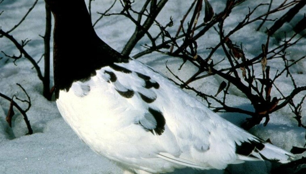 The willow ptarmigan population is declining. (Photo: Wikipedia Commons)