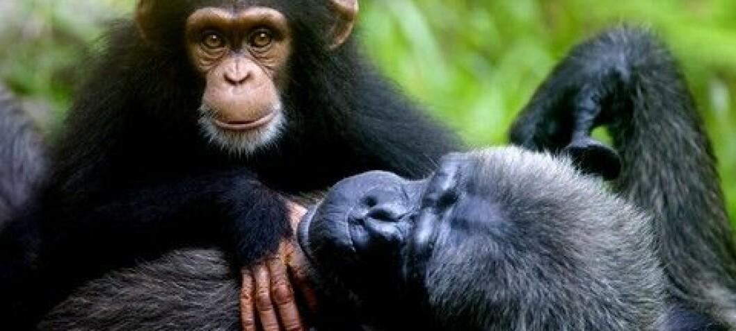 Tooling around with Chimpanzees