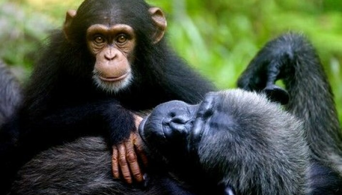 Tooling around with Chimpanzees