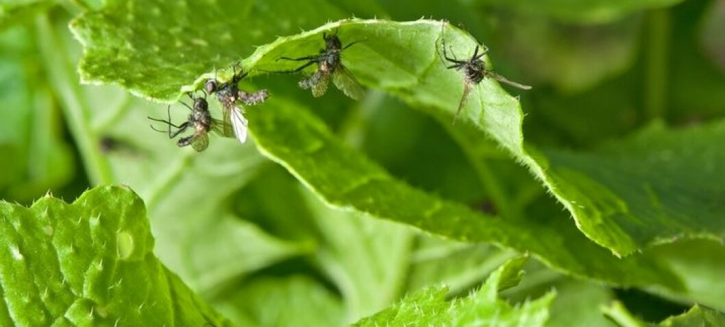 Pull, push and kill cabbage root flies