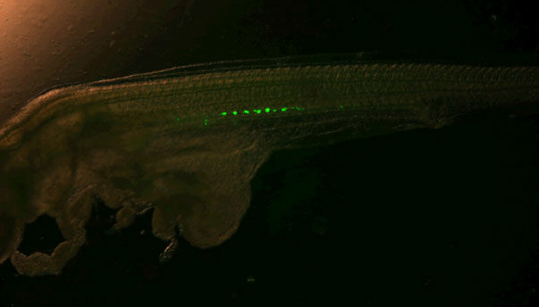 A fish in its tiny larval stage has had its germ cells injected with a fluorescent liquid. This enables scientists to see how they move and mature into reproductive organs. (Foto: Helge Tveiten)
