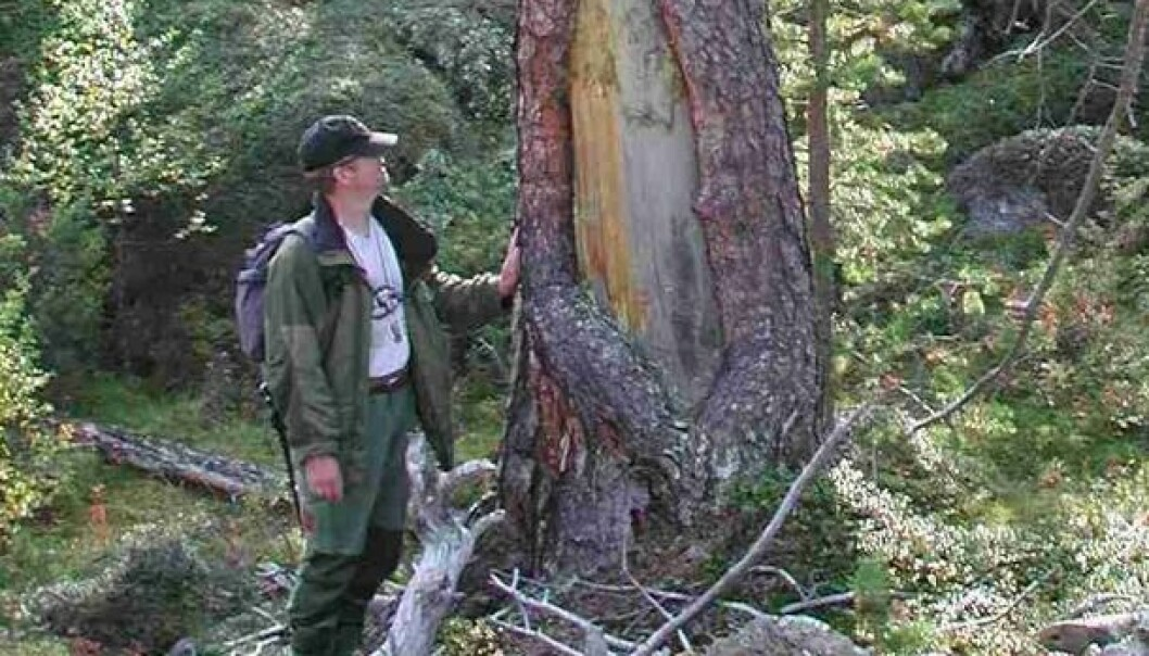 Patches of bark have been removed from older pines in the Øvre Dividalen National Park, but not in ways that would prevent the trees from continuing to grow. (Photo: UiT)