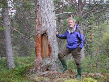 Arve Elvebakk poses next to one of the marked pines at Dividalen. (Photo: UiT)