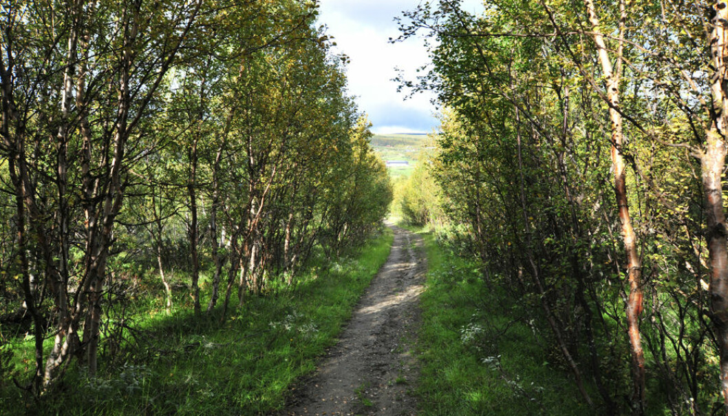 Regrowth of scrub forest along an old Pilgrim Trail leading to the Nidaros Cathedral in Trondheim, the Old Royal Road at Hjerkinn in the Dovre Mountains, photographed on 29 August 2010. (Photo: Anders Bryn)