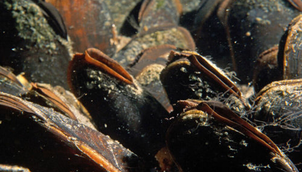 River mussels are a threatened and rare species in Europe. The Sogna River in Buskerud County contains one of Norway's stocks. (Photo: Paul Eric Aspholm, Bioforsk)