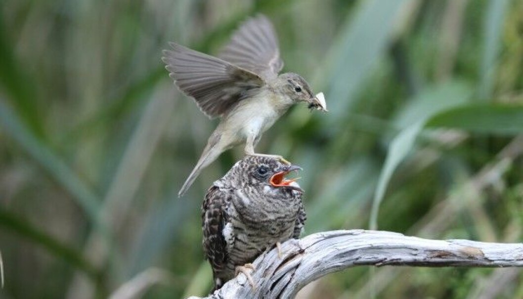 A small Marsh Warbler has involuntarily become a foster parent of a ferocious young cuckoo. (Photo: Oldrich Mikulica)