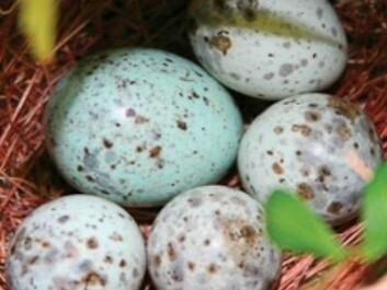 The cuckoo egg usually imitates the host species' own eggs, so it can pass off as one of their own without the bluff being called and the egg rejected. Eggs from the cuckoo are usually larger than the others. (Photo: NTNU)