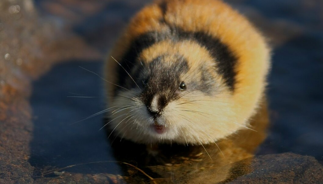 The Norway lemming lives in the mountains, and prefers to live near water. Lemmings migrate,  sometimes in huge numbers, but the famous march into the sea or over cliffs has yet to be verified. (Photo: Colourbox)
