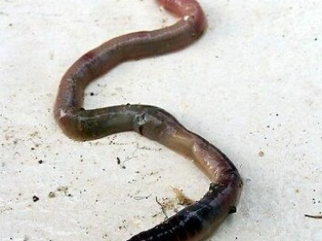 After feeding earthworms horse dung containing radioactive nanoparticles, researchers were able to detect the radiation and follow its trail. (Photo: Colourbox)