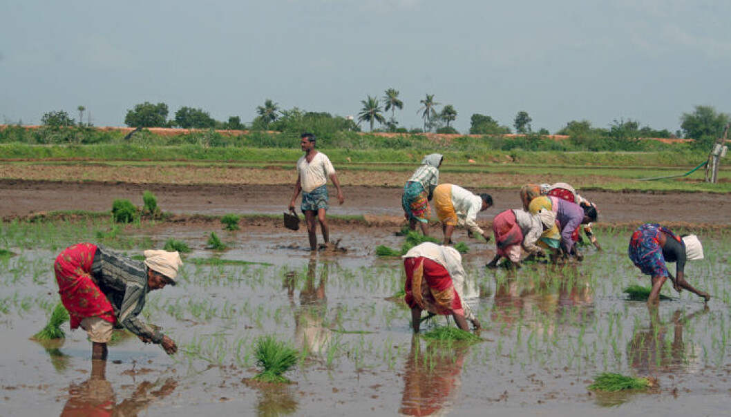 Traditional rice cultivation in Andhra Pradesh. (Photo: Asle Rønning)