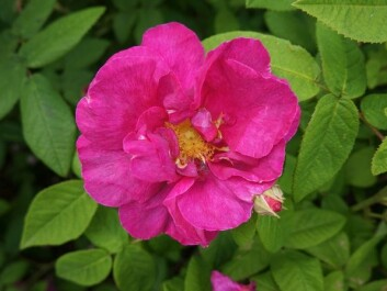 The history of the apothecary rose, 'Rosa gallica Officinalis', goes back to the 1500s in Norway. (Photo: Arnfinn Christensen)