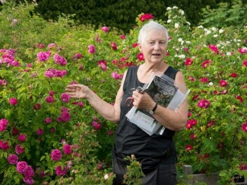 Unni Dahl Grue is charting older rose species and varieties in Norway. When her efforts are completed, the most suitable varieties will be for sale to rose cultivators at plant nurseries, labelled Plant Heritage. (Photo: Arnfinn Christensen)