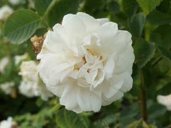 'Rosa Alba Maxima', a fabulous old species, probably pre-dating the 17th century. (Photo: Arnfinn Christensen)