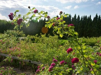 The rose trial grounds belong to the Norwegian University of Life Sciences in the Norwegian municipality of Ås, some 30 km southeast of Oslo. The garden contains about 300 plants of 70-80 species. Most were imported from France between the late 1700s and the late 1800s. (Photo: Arnfinn Christensen)