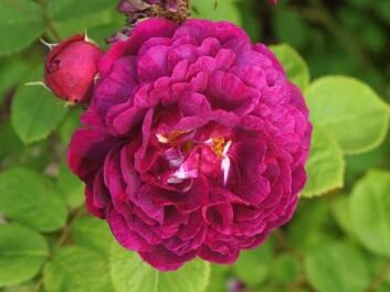 'Geschwinds Schönste'. The only species of this shrub rose found in Norway, planted in Halden by the town gardener in the late 1930s. (Photo: Arnfinn Christensen, forskning.no)