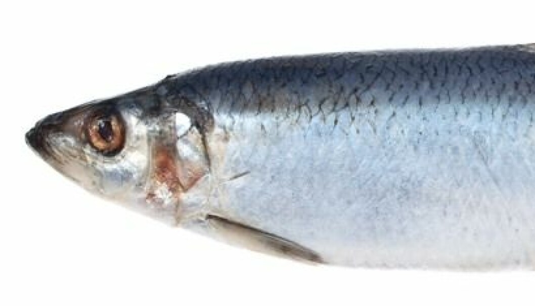 Herring can be more than pickled. (Photo: Colourbox)