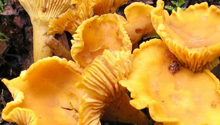 Warmer climate prolongs mushroom season