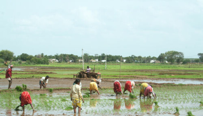 Adapting rice cultivation to climate changes