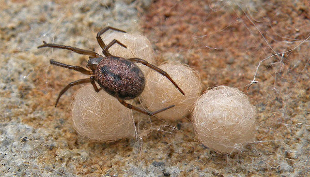 A female specimen of the spider species Enoplognatha serratosignata, which was found under a rock. A female can produce 6-7 eggballs, each containing 30-50 eggs. She watches the balls until the kids are hatched, and should not be disturbed. Even large beetles and ants have succumbed to her sharp jaws and effective poison. She belongs to the same family as The Black Widow. (Photo: Arne Fjellberg)
