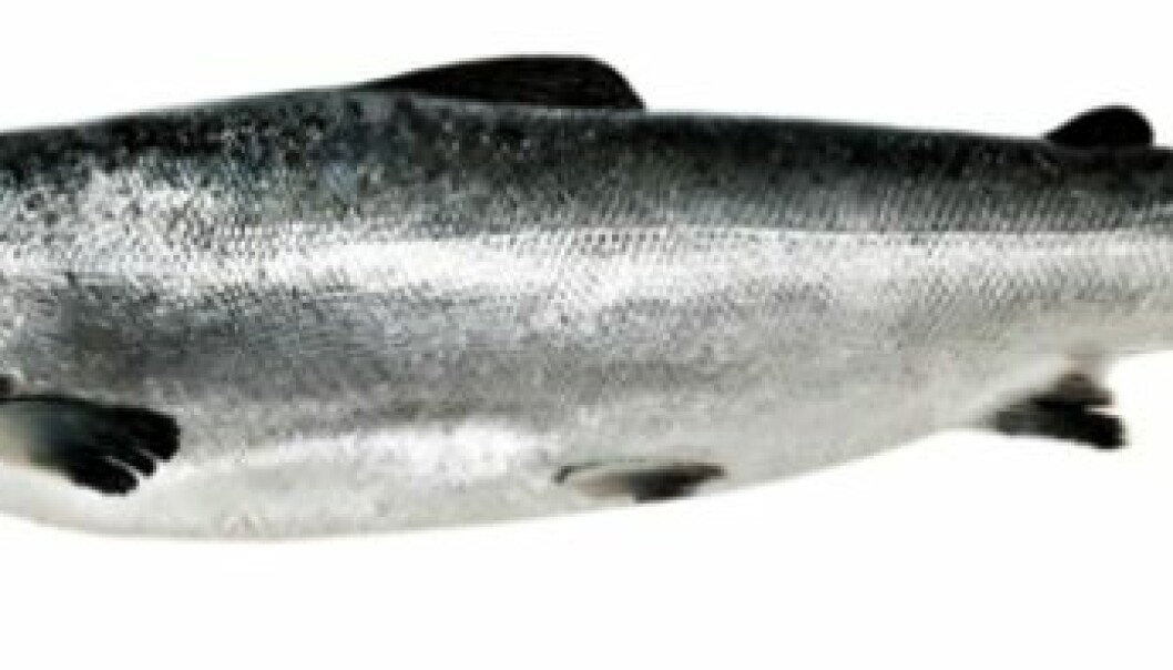 The salmon with ISA get anemic. Their blood flow is altered, and the cell membrane of the red blood cells is damaged. (Photo: Colourbox)