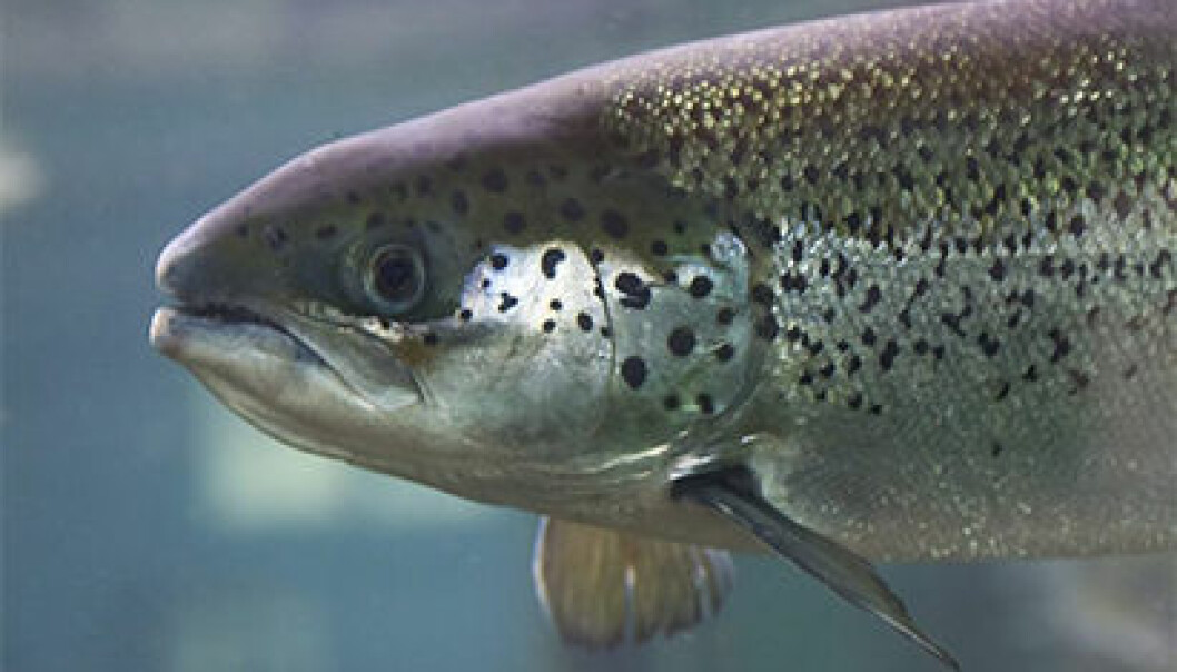 The salmon can produce healthy omega-3 fat on its own. (Photo: Frank Gregersen)