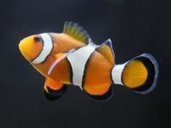 The clownfish Nemo catches a ride with the currents in the Pixar movie Finding Nemo. Pictured here is a real clownfish (Ocellaris Clownfish).
