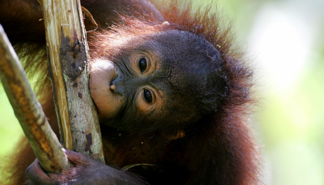 Apes lack the ability to make music and use mathematics. (Photo: Colourbox)