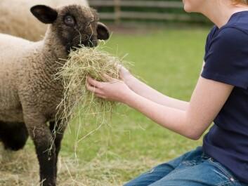 This is our preferred image of animal husbandry: a happy farmer feeding a cute lamb. (Photo: Colourbox)