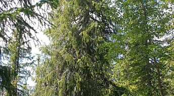 The oldest spruce in Northern Europe is 532 years old