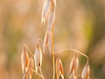 Barley (Photo: Colourbox)