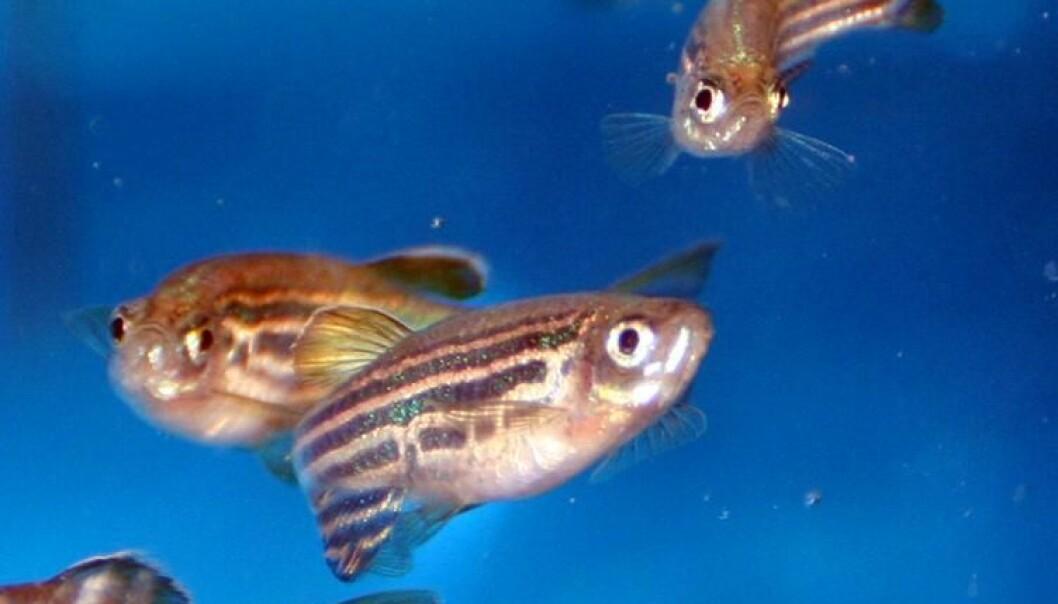 Zebrafish: What's on the menu tonight? (Photo: NIFES)