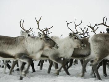 Reindeer trek for thousands of kilometers dressed in warm fur. (Photo: Colourbox)