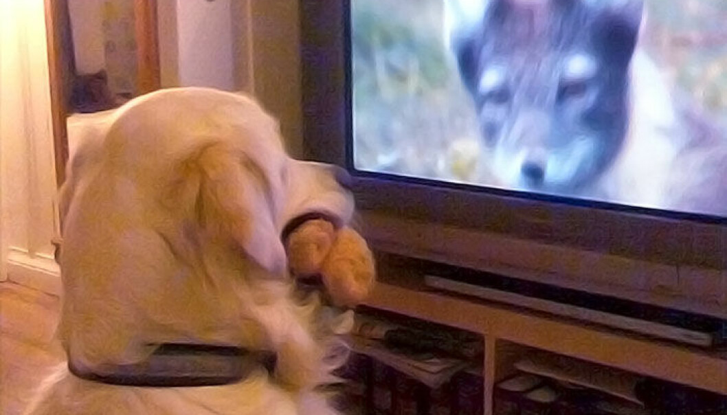 The Golden Retriever Theo is fascinated by nature programmes, according to its owner, journalist Hanne Østli Jakobsen. Here Theo draws comfort from a teddy bear in his mouth while meeting the eye of a wild beast. (Photo: Lars Jakobsen)
