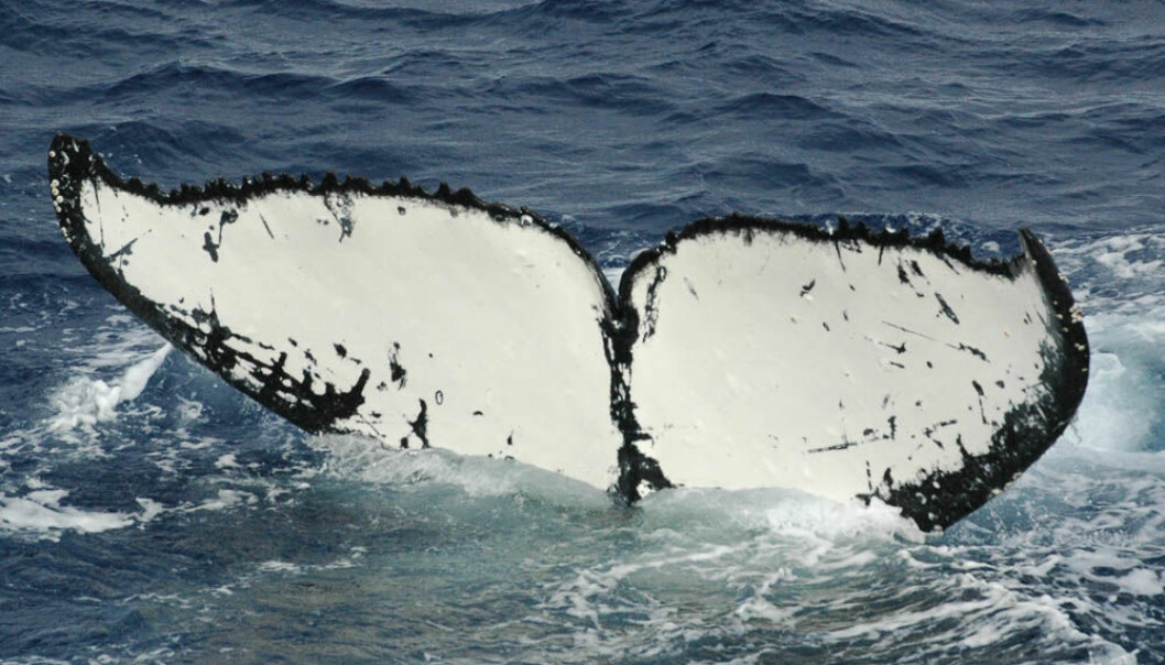 A humpback whale with the distinguished white tale. (Photo: Leif Nøttestad)