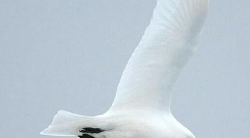 Ivory gulls threatened by eggshell thinning
