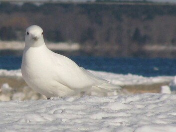 Elevated levels of environmental contaminants are linked with thinner eggshells in ivory gulls. (Photo: Wikipedia Commons)