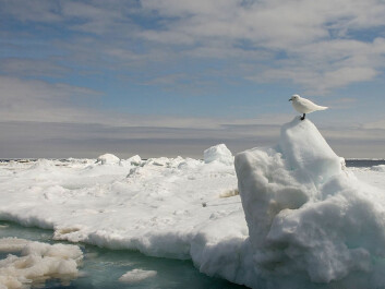 An ivory gull in the Barents Sea. (Photo: Wikipedia Commons)