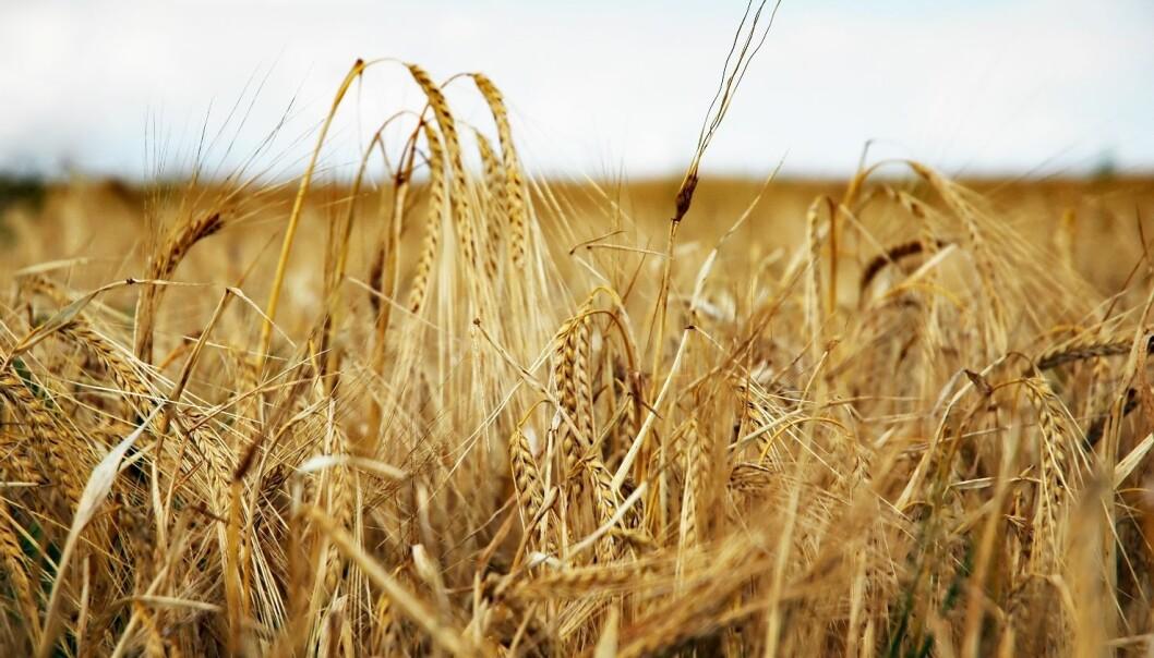 Field of barley (Photo: Colourbox)