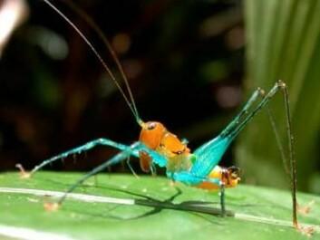 Nature's diversity: Arachnoscelis magnifica, Tettigoniidae. (Photo: IBISCA/M. Leponce)