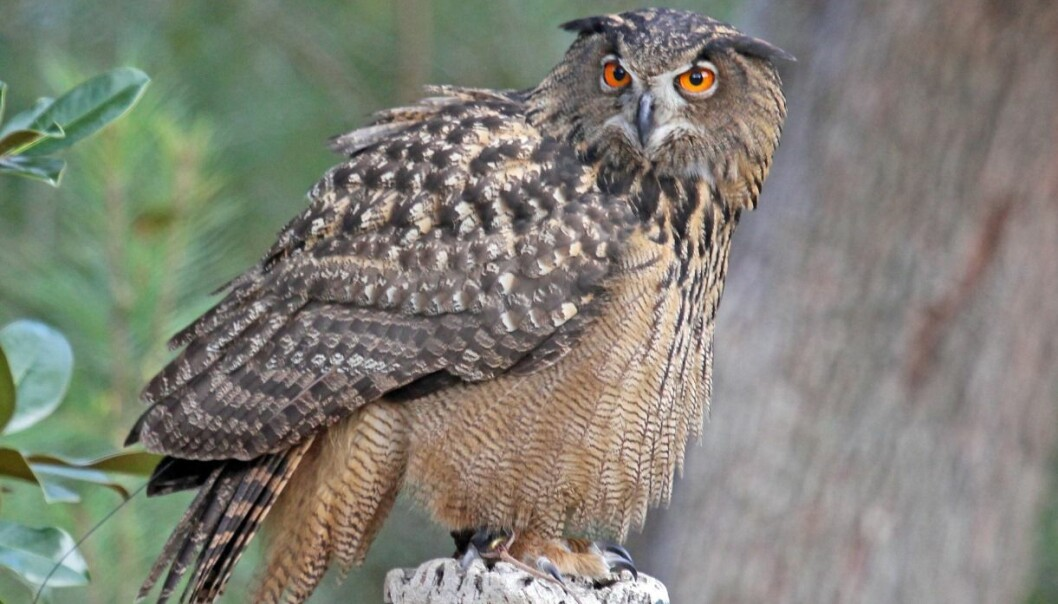 The Eurasian eagle owl is known as hubro in Norwegian and bubo bubo in Latin, and is the symbol of the University of Bergen. (Wikipedia Commons)