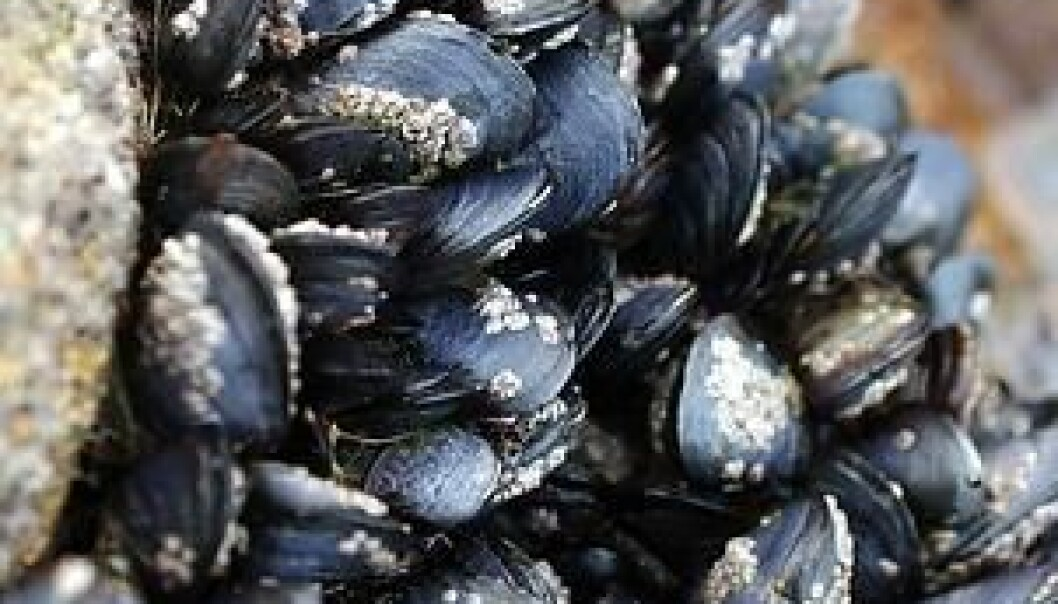 They may not look like it when they're closed up tight against low water, but mussels are sensitive to subtle environmental changes. (Photo: Colourbox)