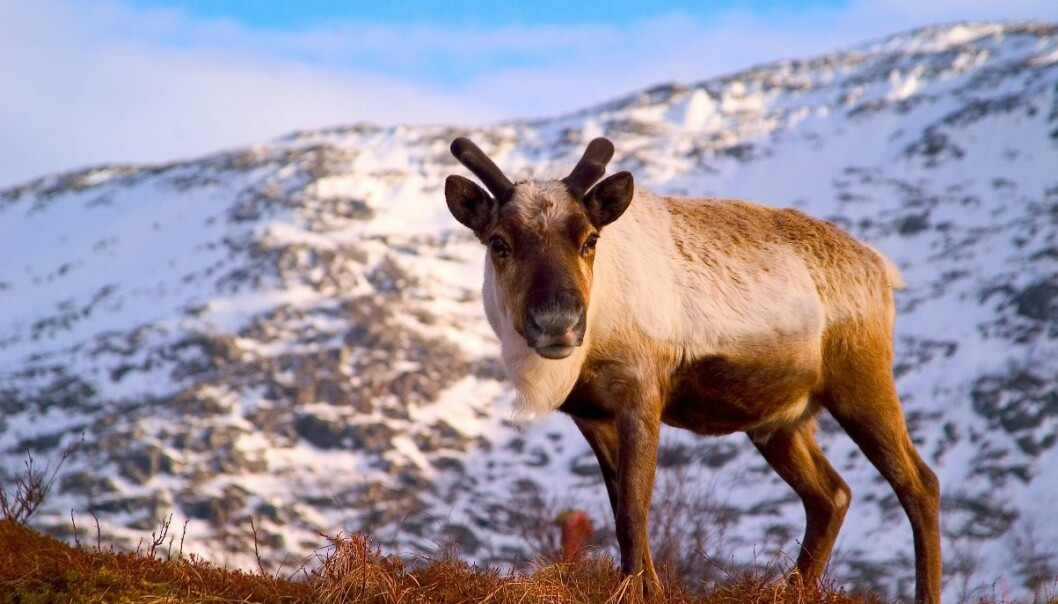 Norwegians eat  on average 300 grams of reindeer meat per year. (Photo: Paul Weaver)