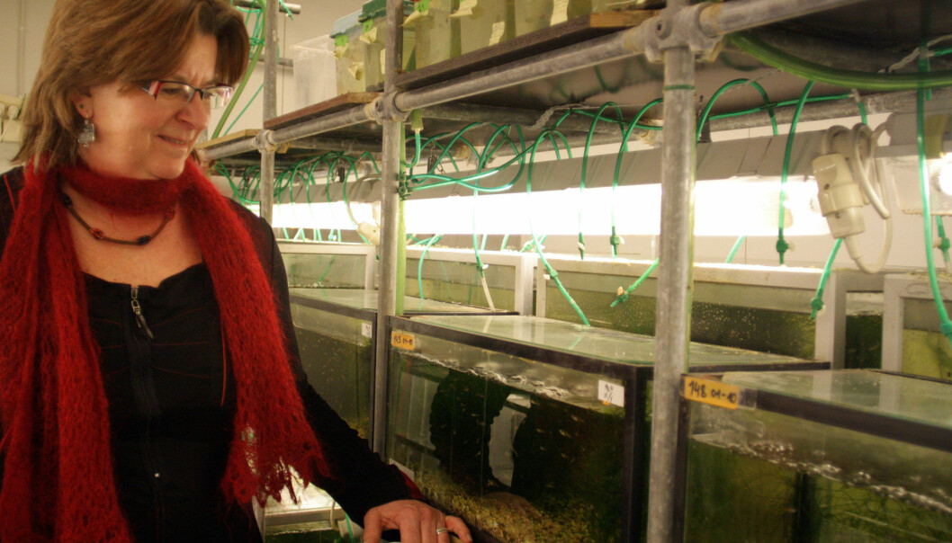 In 1998 Professor Gunilla Rosenqvist imported a number of guppies from Trinidad. Many generations of their offspring have been used as research fish at NTNU. (Photo: Ida Korneliussen)