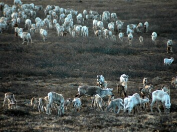Fewer reindeer and high plant production during summer give increased slaughter weight for calves in the autumn. (Photo: Audun Stien)