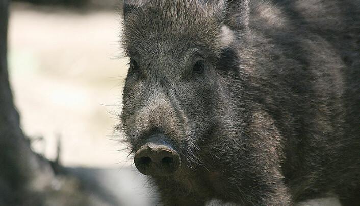 Wild boars generate worries in Norway